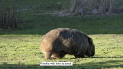 Wombat with Baby in Pouch