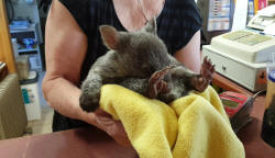 Orphaned Baby Wombat